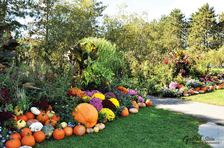 Pumpkins by pathway