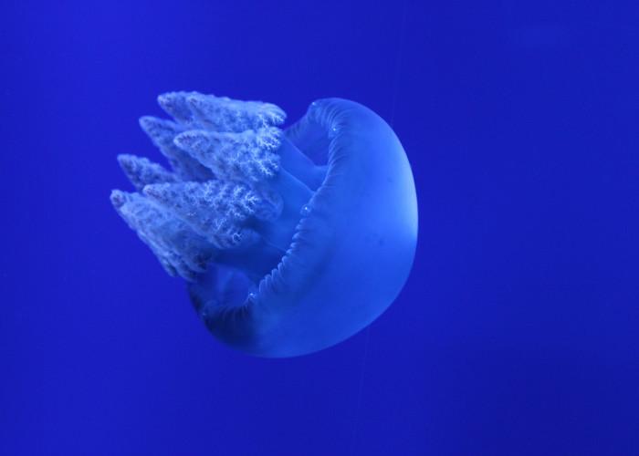 Blue Blubber Jelly
