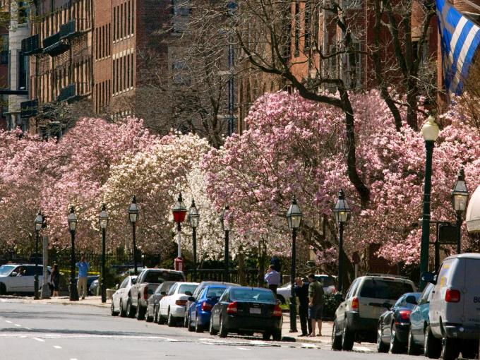 beacon street with trees in bloom