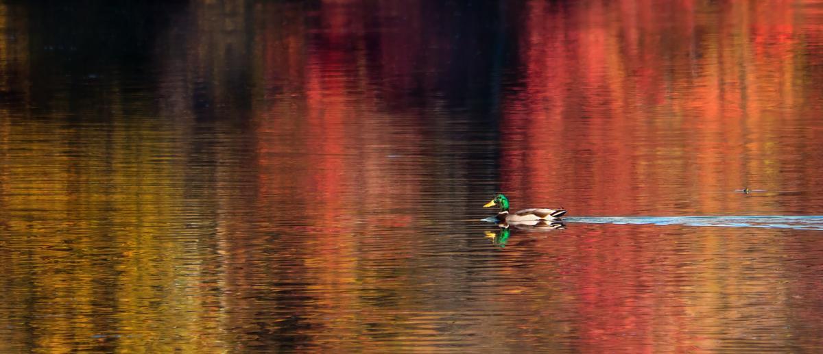 Wheeler Wildlife Duck Foliage