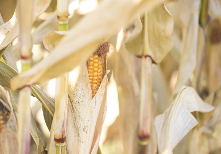 An Ear of Corn at the Glenmore Corn Maze