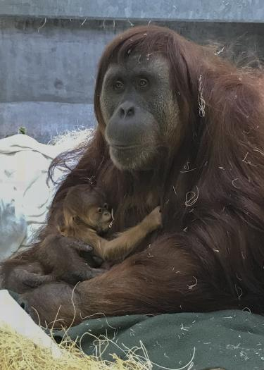 Sumatran orangutans at Denver Zoo