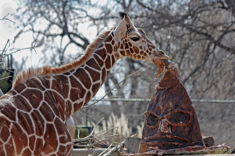Dobby the giraffe at Denver Zoo
