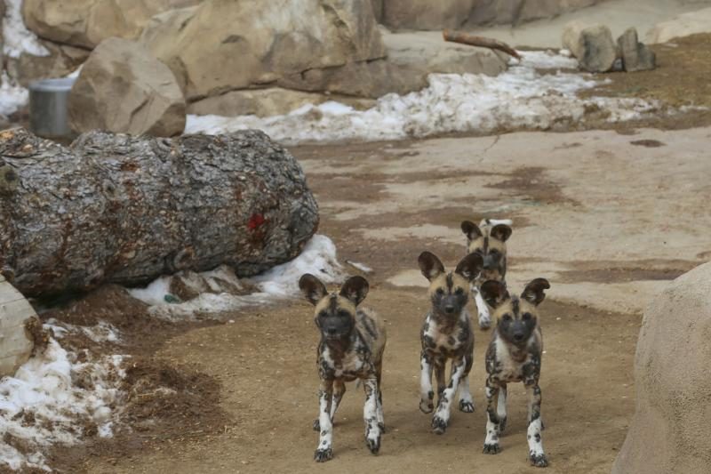 Wild African dog pups at Denver Zoo