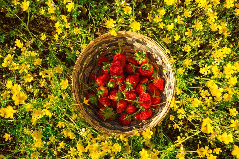 Virginia Beach Pungo Strawberries