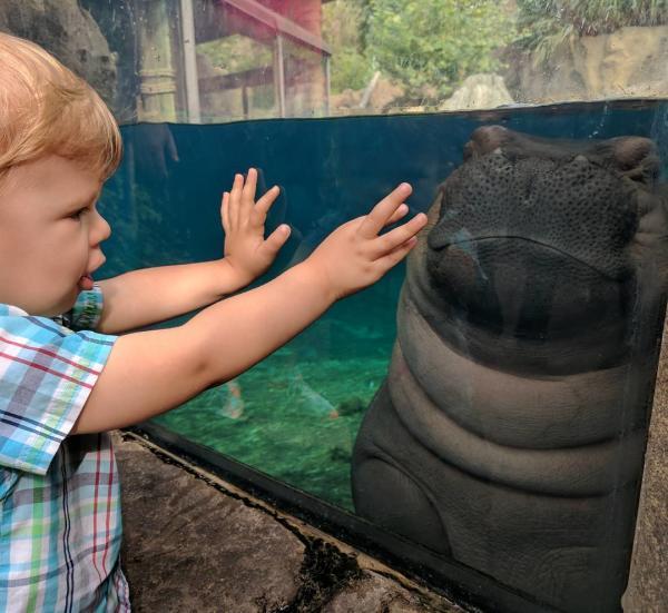 toddler reaching hands toward fiona the hippo