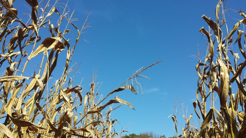 Looking up from the corn maze