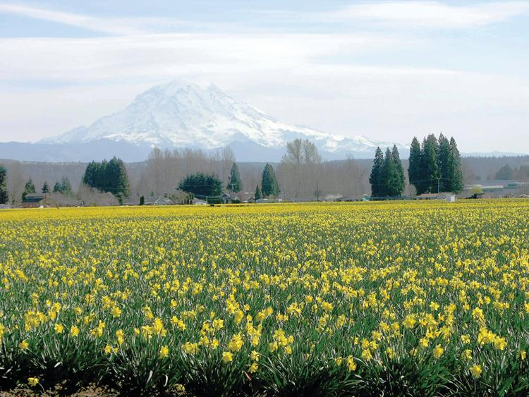 Puyallup Valley daffodils