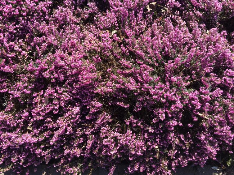 Heather Flowers in Kelowna