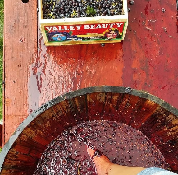 Laurita Winery box of grapes and grape stomping