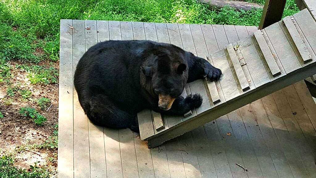 bear-hollow-zoo-bear