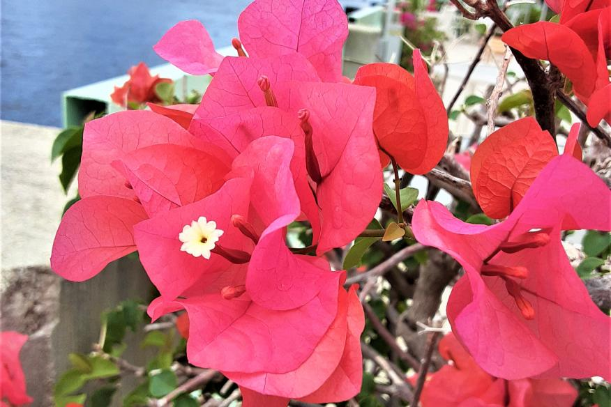 Bougainvillea at the Dock
