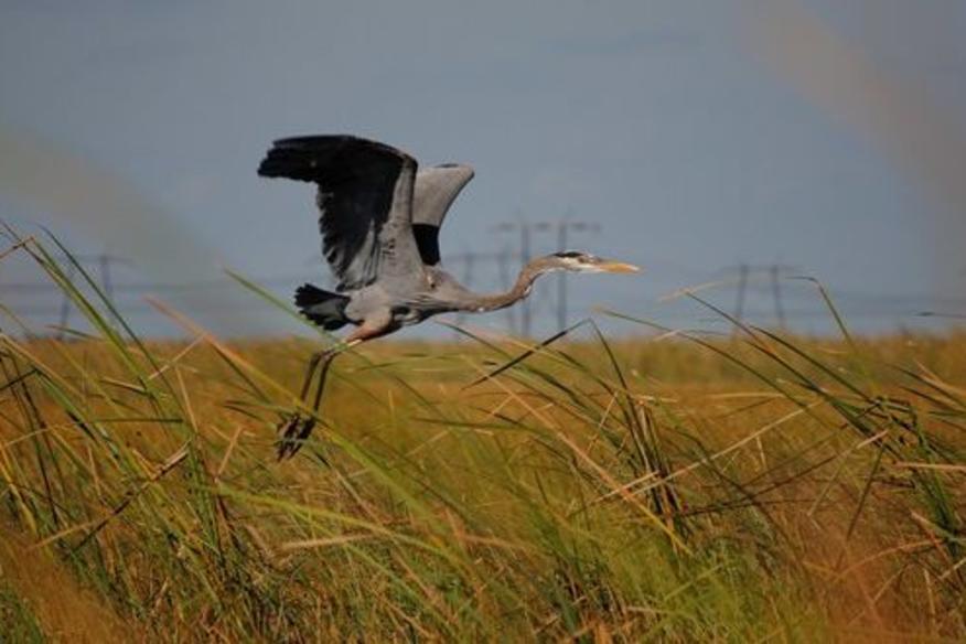 Heron in Glades
