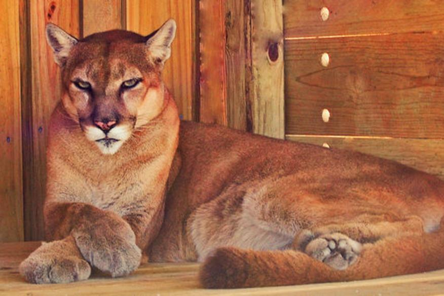 Florida Panther Mia