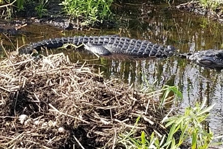 Gator sighting