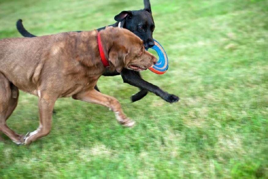 Doggie Frizbee