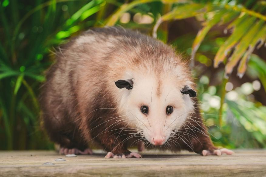 Mommy 'Possum