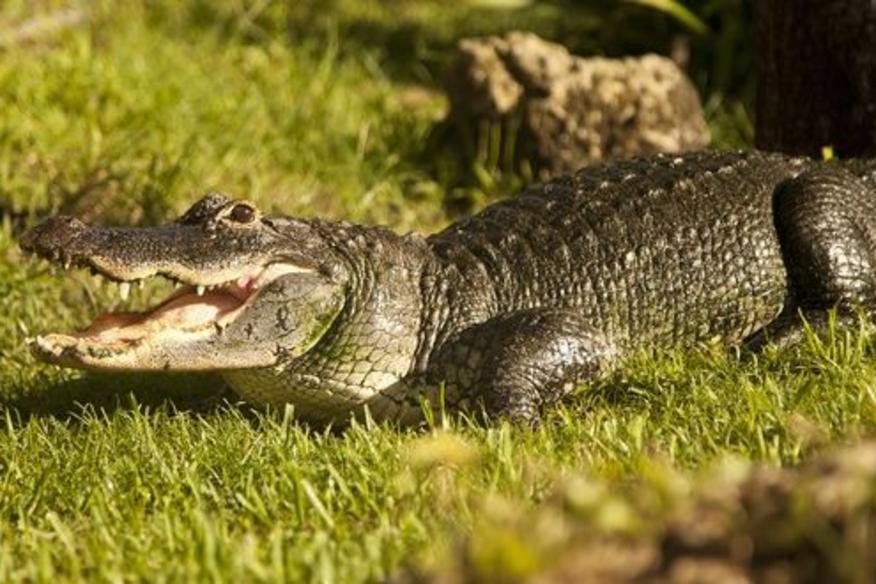 Pretty Gator