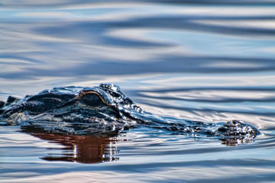 Gator In the Water