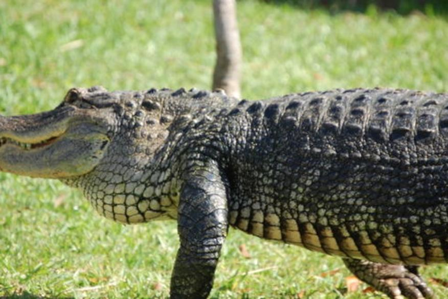 Gator Walking