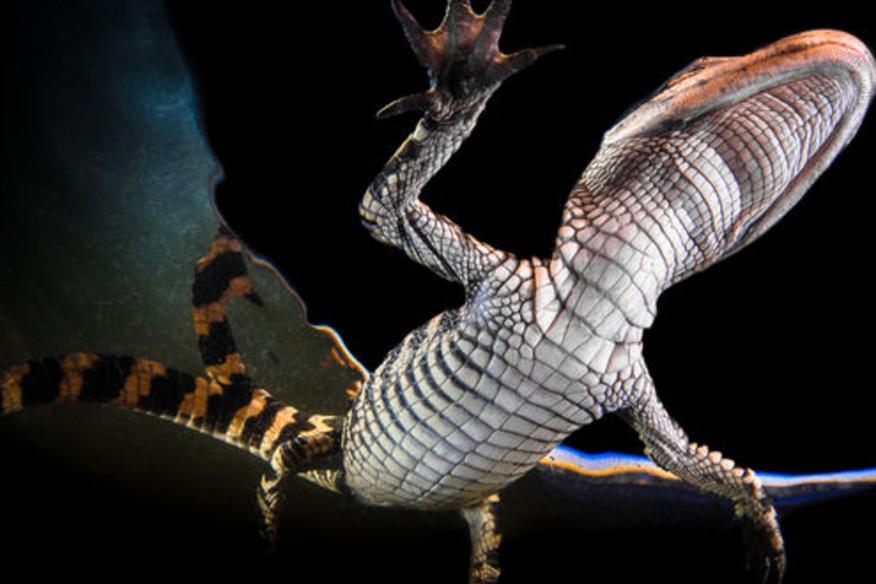 Underwater Alligator