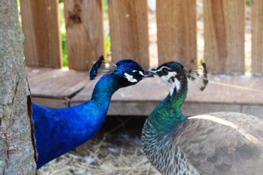 Peacocks Kissing!