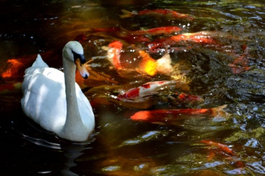 Signature Swan in Koi Pond at the Lush Bonaventure Resort & Spa