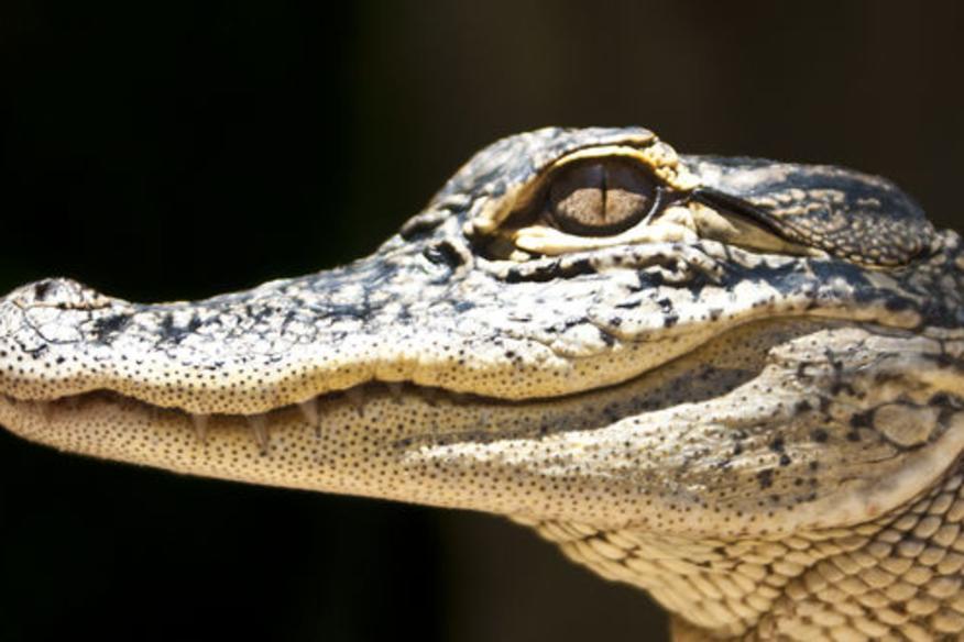 Gator Up Close