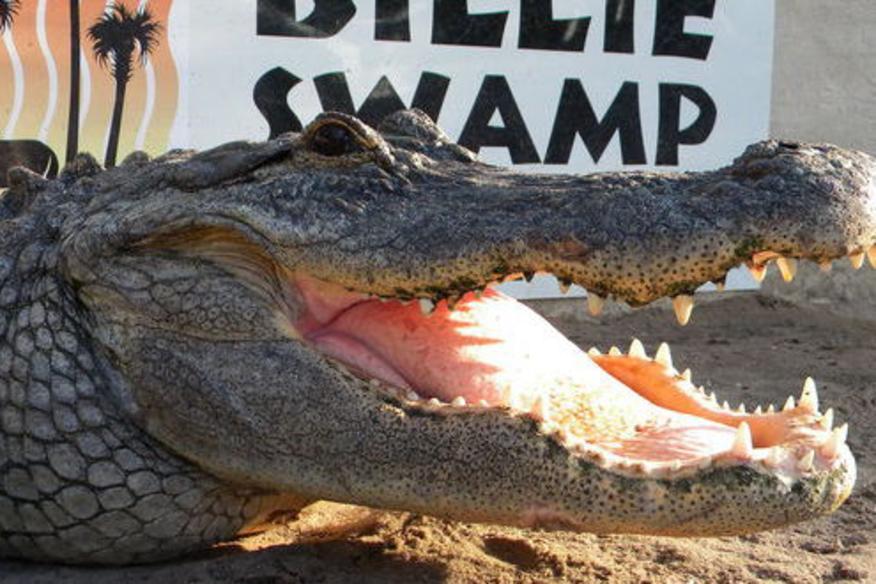 Alligator Shows