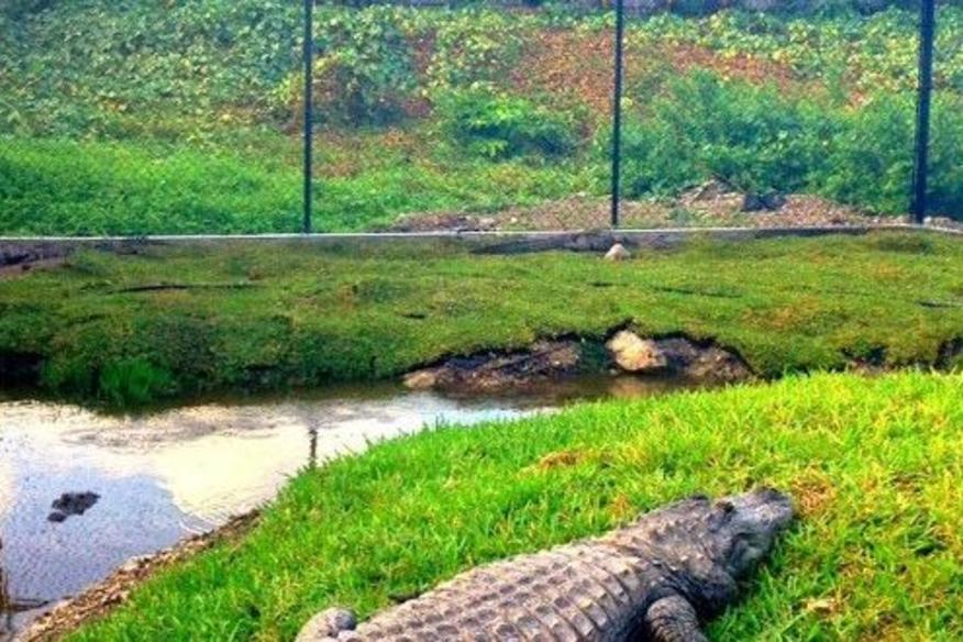 Rescued Gator
