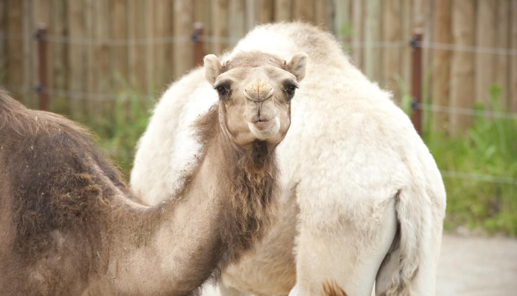 Camel at the Columbus Zoo