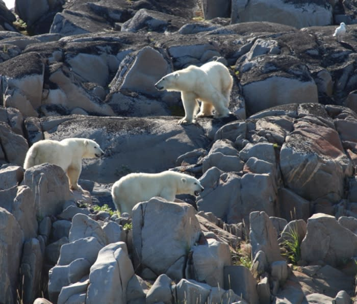 A female polar bear with two, eight-month-old cubs hanging out along the Hudson Bay shore near Churchill