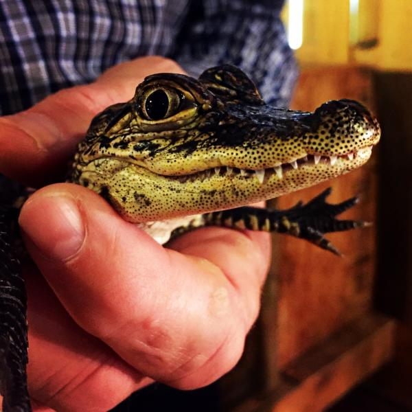 Baby Alligator at Gator Country in Beaumont, TX