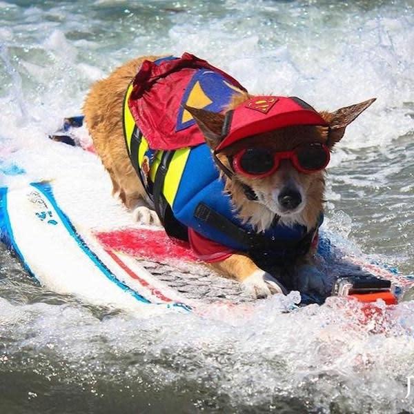 Corgi Surfing Competition Photo by @supercorgi_jojo