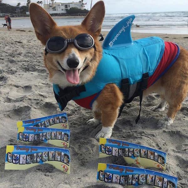 @supercorgi_jojo with some Corgifornia stickers!