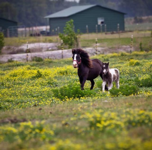 Banks Miniature Horse Farm