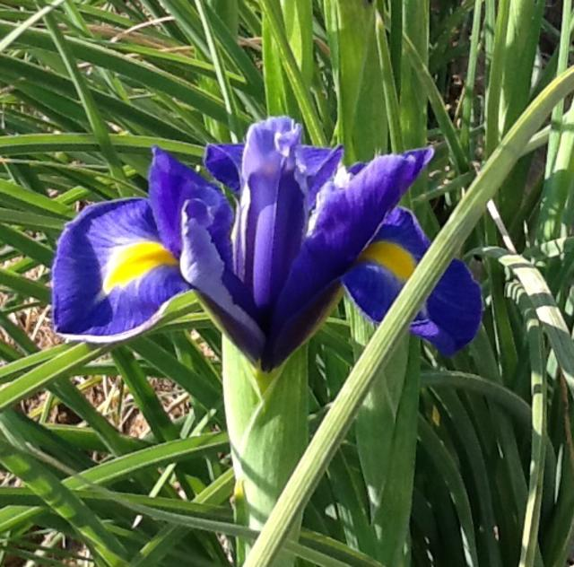 Blue Dragonfly Cut Flowers