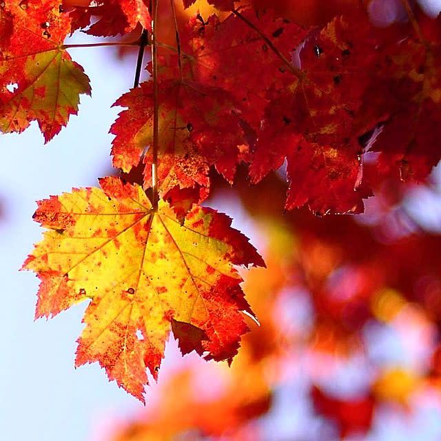Orange Leaves - Fall Photo