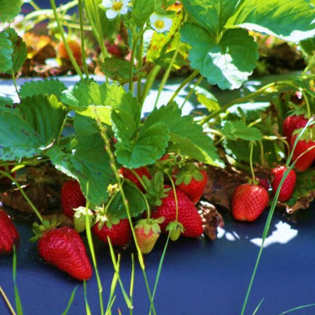 chesterfield berry farm - strawberries
