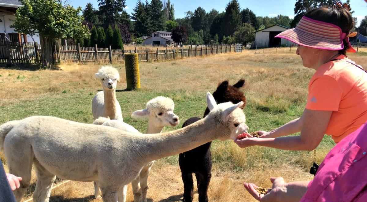 Alpaca's at Firwood Farm