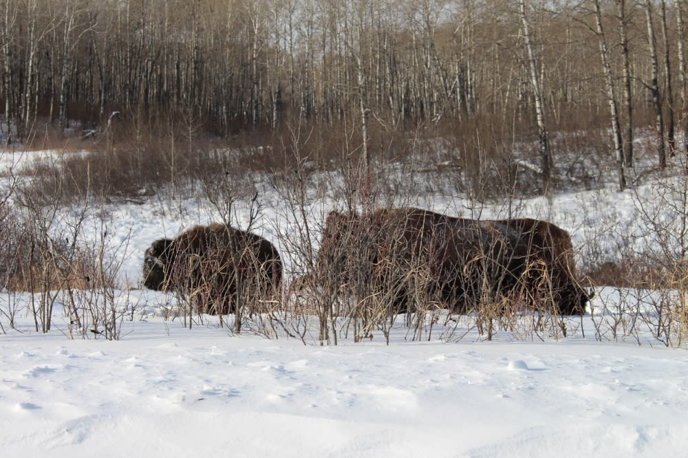 Two bison in the snow inside the Lake Audy Bison Enclosure