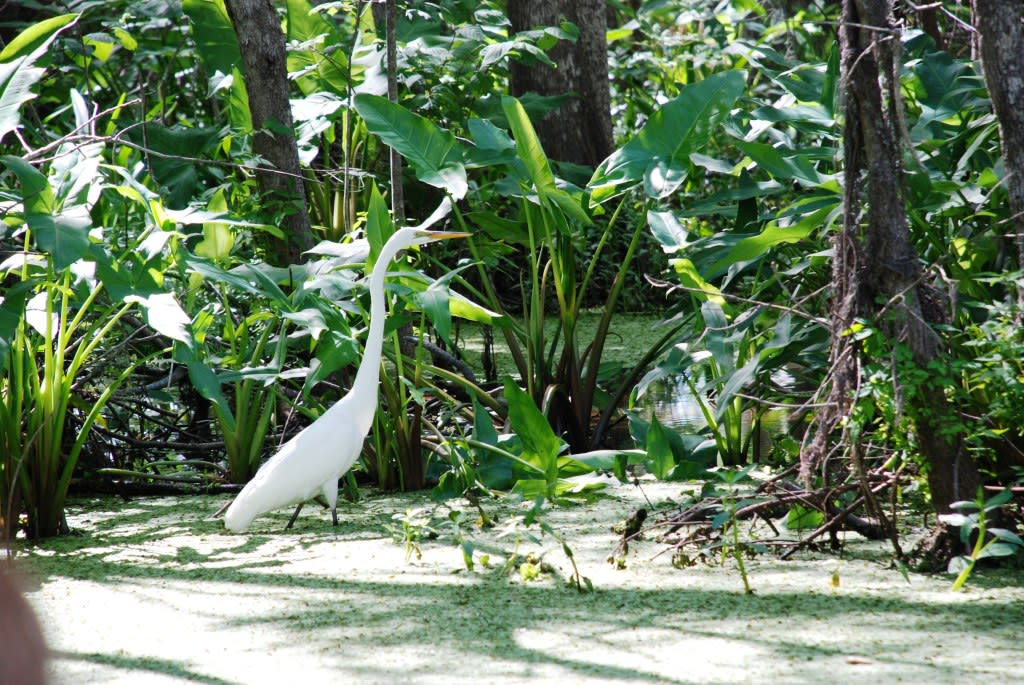 Pearl River Things to Do - Honey Island Swamp