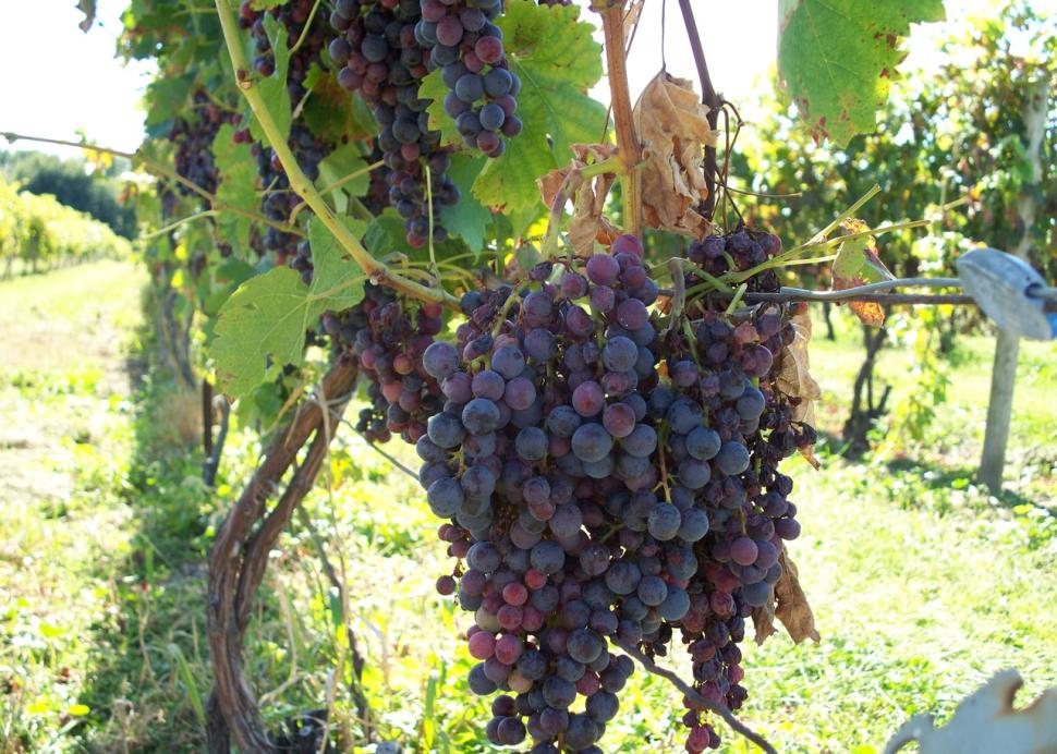 grapes on the vine, Casa Larga Vineyard, Rochester, NY
