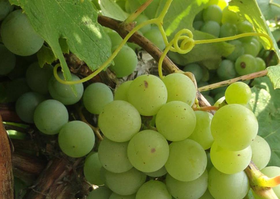 Cayuga Wine Trail - Photo Courtesy of Niagara Wine Trail USA