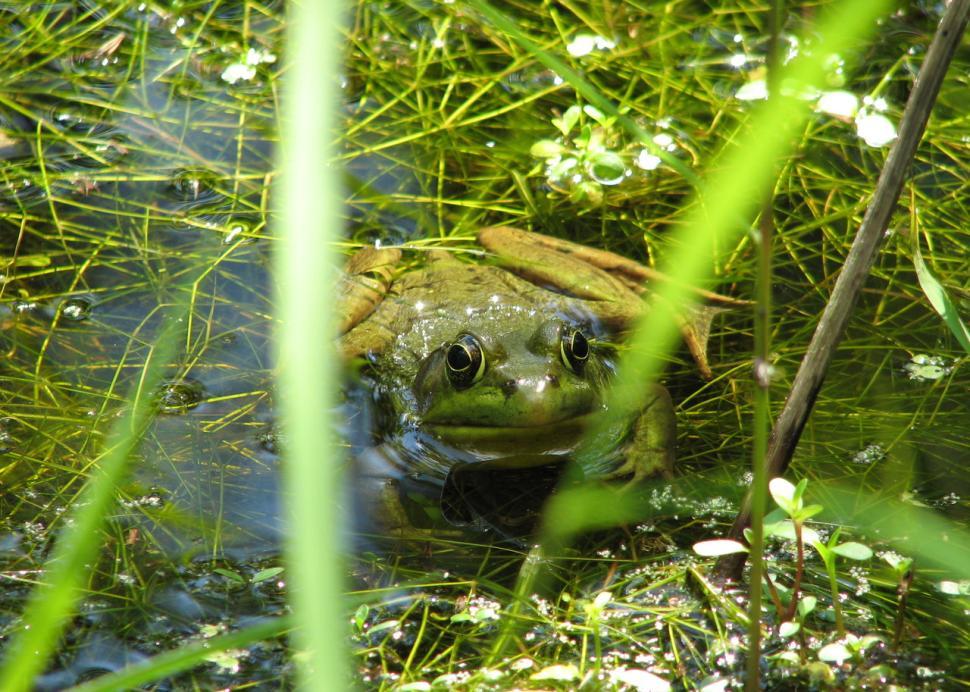 Huckleberry Swam Frog