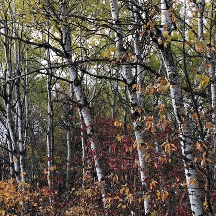 Brandon Hills Birch Forest