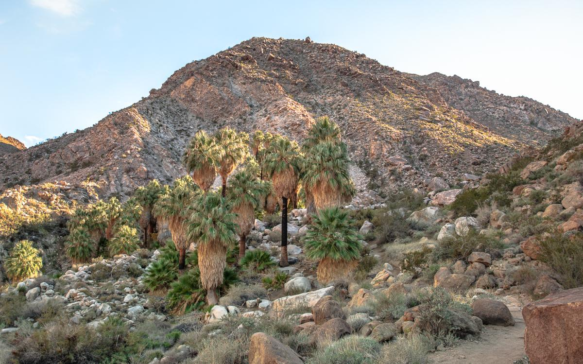 Palm tree oasis on the 49 Palms Trail in Joshua Tree National Park
