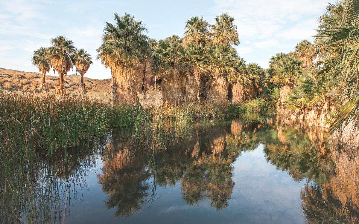 Palm trees in an oasis on the McCallum Trail in the Coachella Valley Preserve