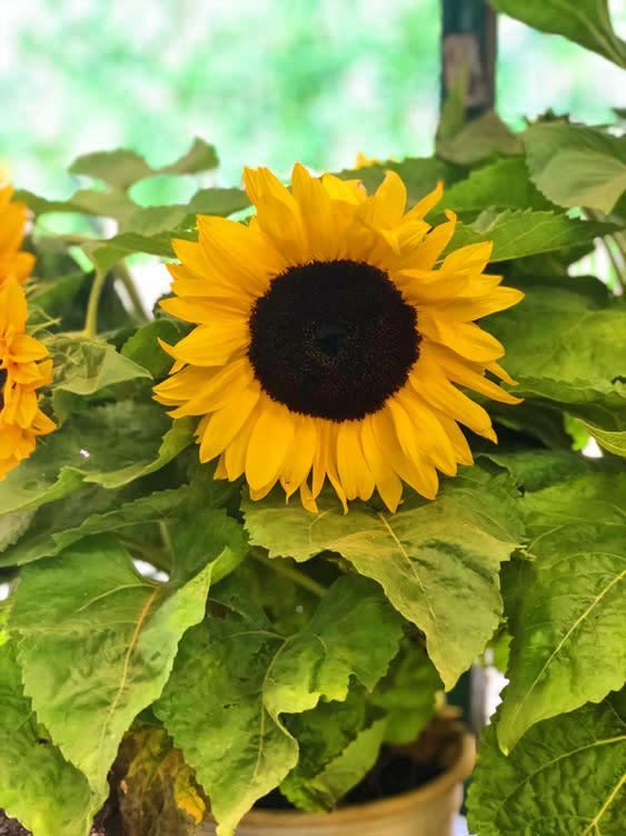 Farmers Markets - Fairbanks Alaska - sunflower