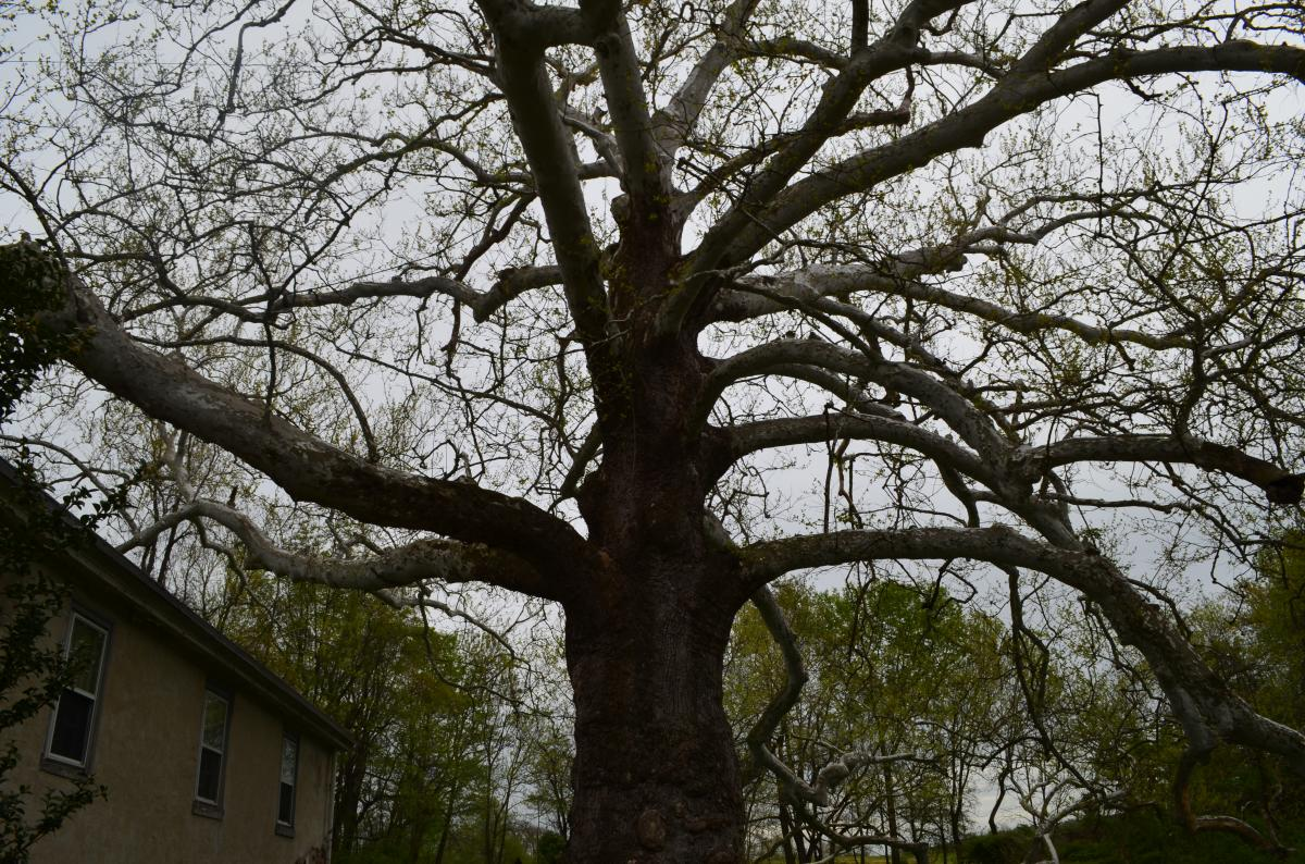 The Pawling Sycamore has never been accurately dated, but it is believed to predate the Valley Forge encampment